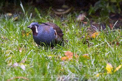 Male Mountain Quail near Bremerton, Washington.