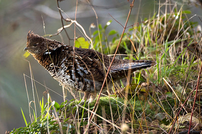 Ruffed Grouse at the Coldwater Lake Recreation Area of the Mount St. Helens National Volcanic Monument in Washington.