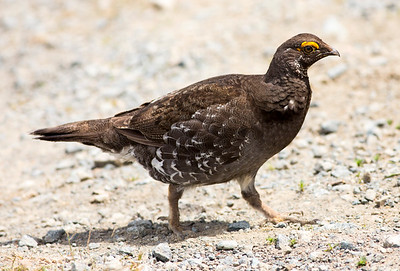 Male Sooty Grouse on Green Mountain, near Seabeck, Washington.