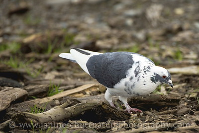 Leucistic Rock Pigeon at Ediz Hook in Port Angeles, Washington.
