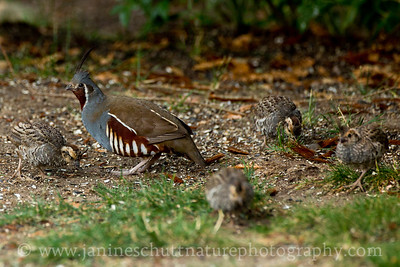 Female Mountain Quail with chicks.  Photo taken near Seabeck, Washington.