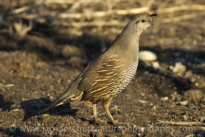 Female California Quail in Mansfield, Washington.