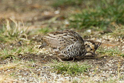 Mountain Quail chick near Seabeck, Washington.