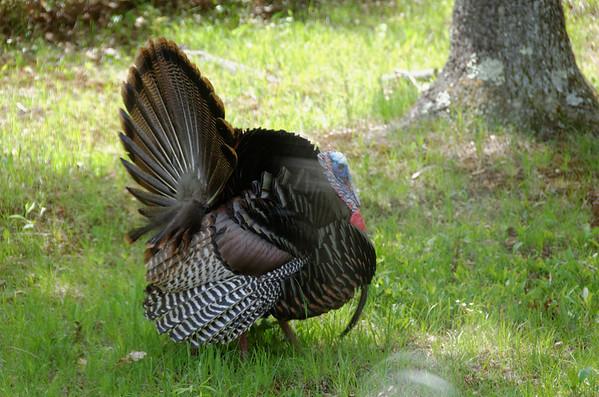 Turkeys in Yard
