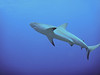Reef shark.  We saw these on just about every dive