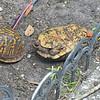 Turtle Sex 04-15-18