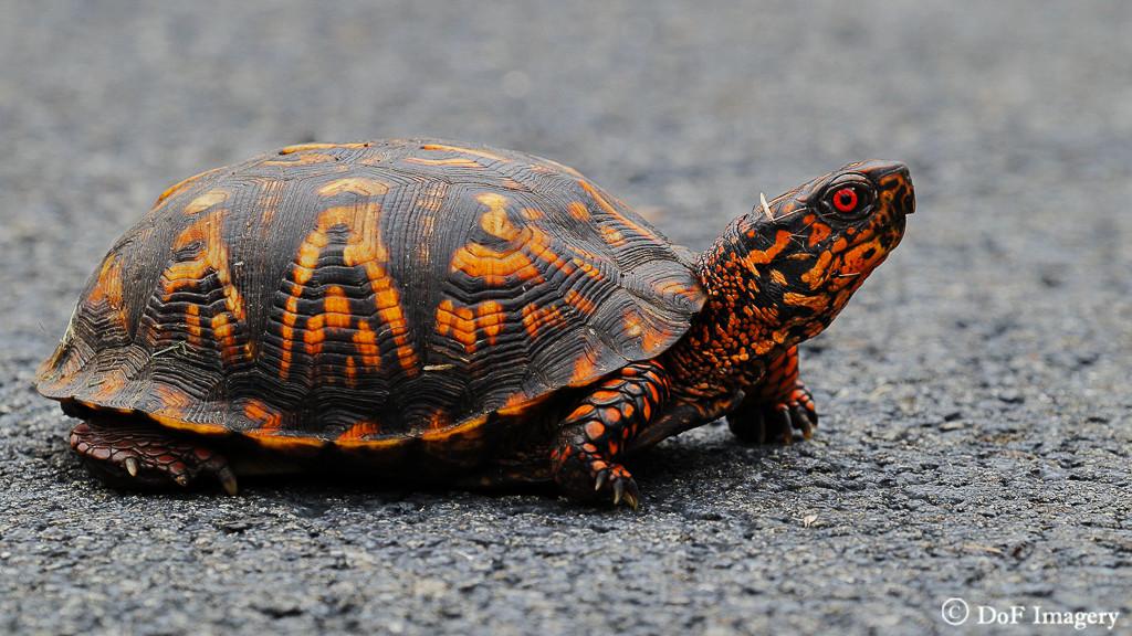 IMAGE: https://photos.smugmug.com/Nature/Turtle/i-SkZzkHL/0/5bc25cb4/XL/IMG_1450-XL.jpg