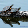 Painted Turtles