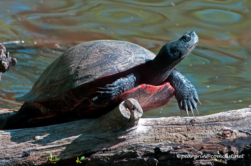 Red Bellied Turtle