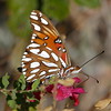I had to include a picture of a cooperative and very beautiful butterfly seen in our yard.
