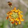 On Coalinga Road, we photographed a group of wallflowers and got insects in almost every photo.