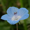 Baby blue eyes are one of my favorite wildflowers.   When I looked at this photo magnified on my computer screen, I noticed a tiny yellow spot.