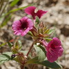 We photographed this short mimulus along Highway 155 a few miles west if Lake Isabella in May.  Another discovery for us.