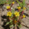 A few feet away from the seep monkeyflowers, on drier ground, we spotted a different mimulus species. A discovery for us.