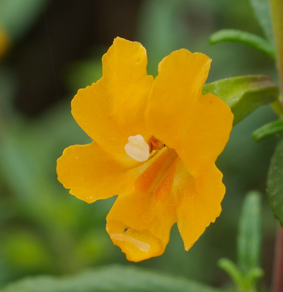 Yellow to orange sticky monkeyflowers are common near us and we see them on many of our trips.  We always enjoyed seeing more. In bright sunlight, the flowers  can seem to have flat, monochrome color. Given the right light, the camera picks up subtle variations making a pretty image.