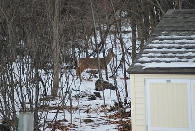 A doe in woods behind Byler's house next door.