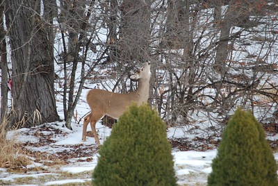 Doe eating branches in neighbor's back yard.