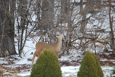 Doe continues to eat branches.