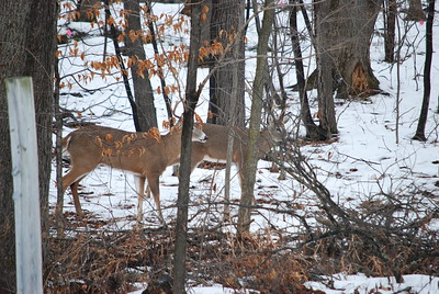 Both bucks checking out the doe.