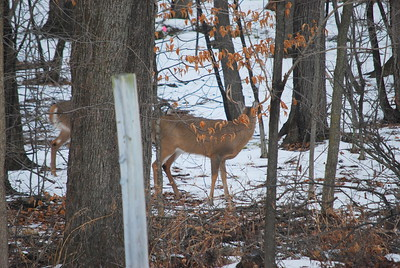 Buck # 2 enters the scene (behind tree - see tail).