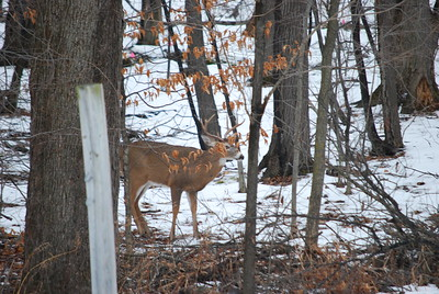 Buck #1 back at his watching station.