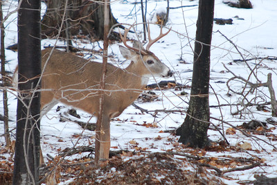 Close up of Buck #1 that entered my yard following a doe.