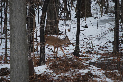The doe continues right behind our house.