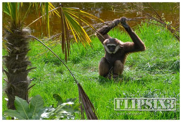 Female Agile Gibbon