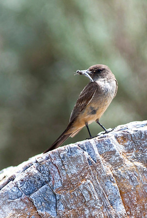 Say's Phoebe on a large chunk of petrified wood at Ginkgo Petrified Forest State Park in Vantage, Washington.