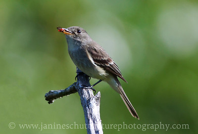 Willow Flycatcher by Silver Lake at the Mt. St. Helens Visitor Center near Castle Rock, Washington.