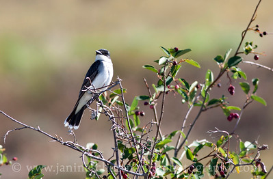 Eastern Kingbird.  Photo taken near Winthrop, Washington.