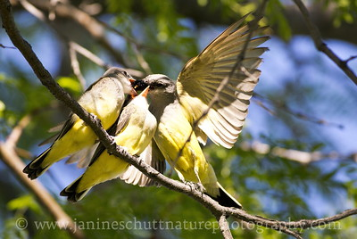Adult Western Kingbird feeding its young.  Photo taken at the Vernita Rest Area in Benton County, Washington.