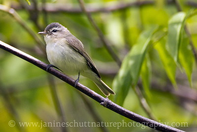 Warbling Vireo near Coldwater Lake at the Mount St. Helens National Volcanic Monument in Washington.