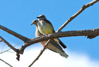 Two friends perched on a branch.  This Western Kingbird was joined by a Mourning Dove.  The two birds seemed to enjoy one another's company.  Photo taken at Oasis Park in Ephrata, Washington.