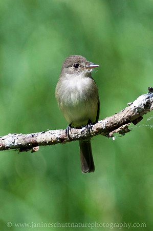Willow Flycatcher with fluff from a cottonwood tree on its beak. Photo taken at Nisqually National Wildlife Refuge near Olympia, Washington.