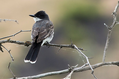 Eastern Kingbird by the Yakima River at the Umtanum Recreation Area near Ellensburg Washington.