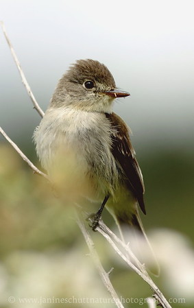 Willow Flycatcher.  Photo taken at Theler Wetlands in Belfair, Washington.