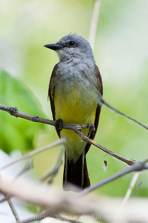 Western Kingbird at Steamboat Rock State Park near Electric City, Washington.