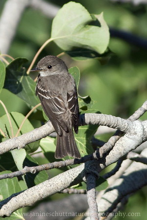Western Wood-pewee.  Photo taken near Winthrop, Washington.