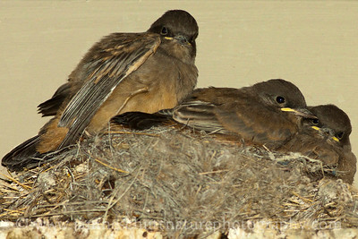 Say's Phoebe chicks at Ginkgo Petrified Forest State Park in Vantage, Washington.