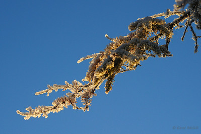 Sunlight on a frosted spruce branch.