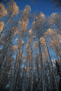 Frosted Birch and Aspen on the UAF Ski Trails