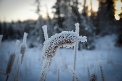 Detail of the frosted cattails.