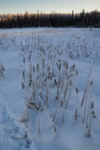 Cattails at the edge of Smith Lake.