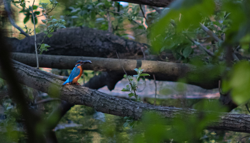 Kingfisher with fish at River Calder