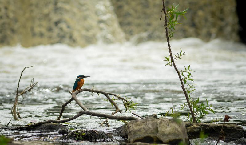 Kingfisher with fish at River Calder