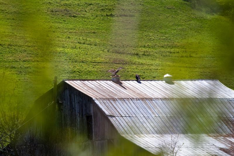 Turkey Buzzards on barn, seen from US Hwy 231