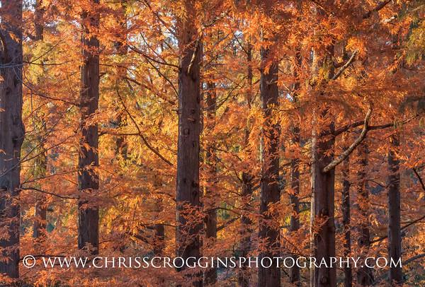 Dawn Redwood Trees in Autumn.