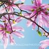 Star Magnolia 3