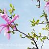 Star Magnolia 2